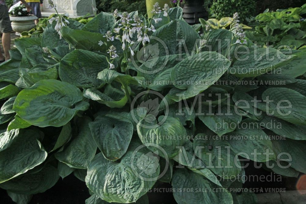 Hosta Millennium (Hosta funkia august lily)  4