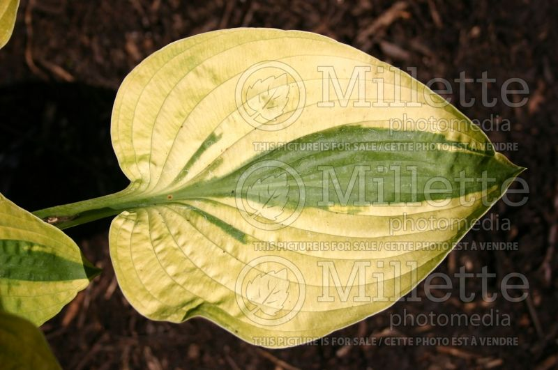 Hosta Moon Split (Hosta funkia august lily)  2