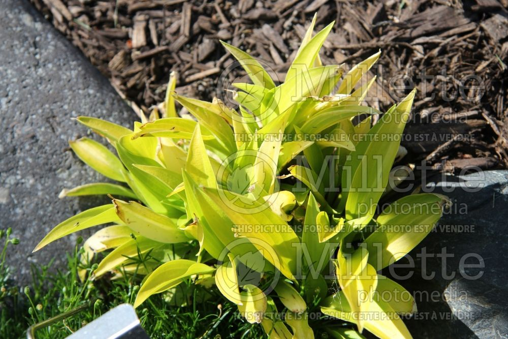 Hosta Munchkin Fire (Hosta funkia august lily) 1