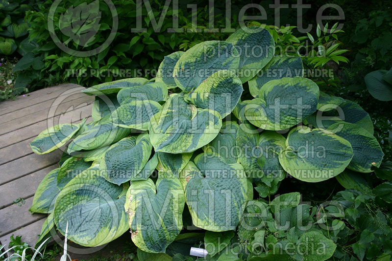Hosta olive bailey langdon hosta funkia august lily - Olive garden bailey s crossroads ...
