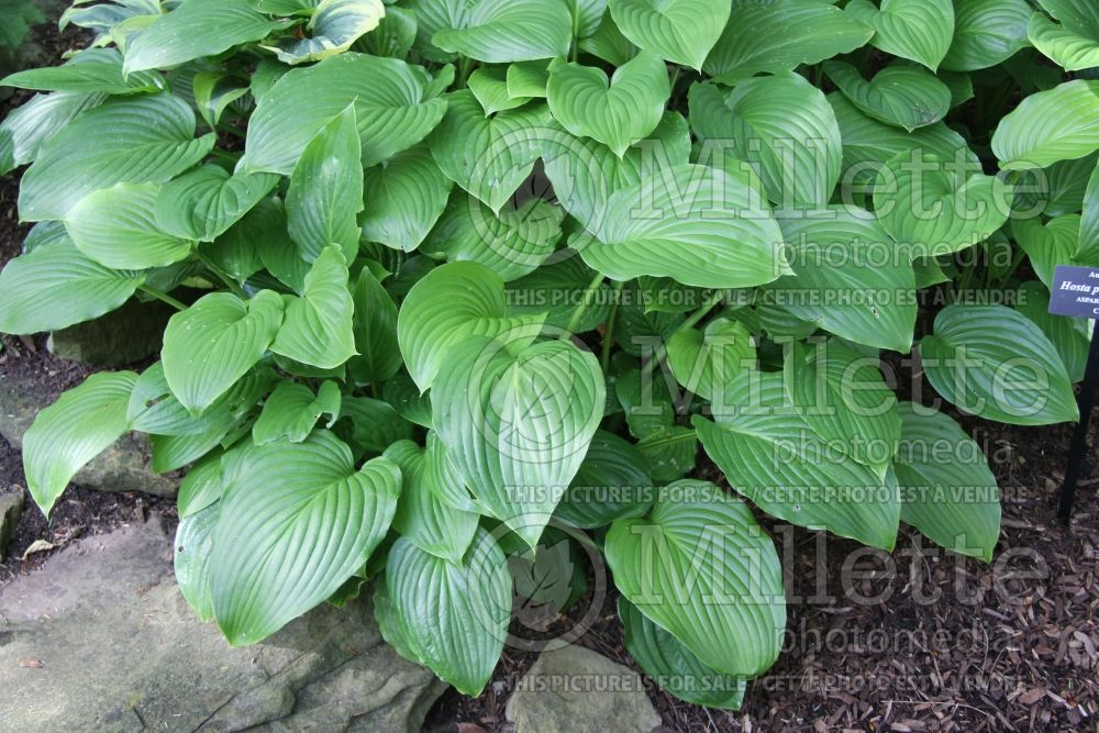 Hosta plantaginea (Hosta funkia august lily) 5
