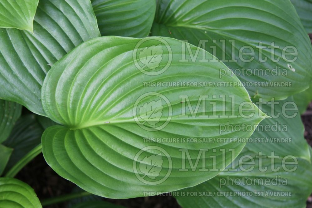 Hosta plantaginea (Hosta funkia august lily) 6