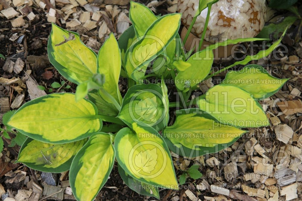 Hosta Pocketful of Sunshine (Hosta funkia august lily) 3