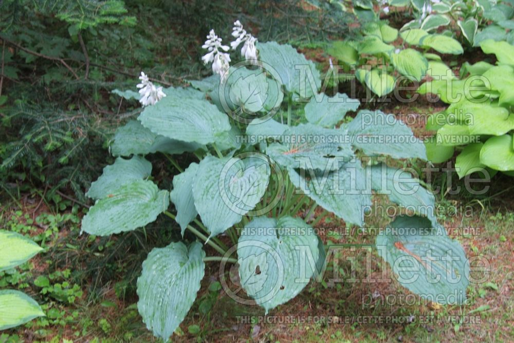 Hosta Queen of the Seas (Hosta funkia august lily) 2