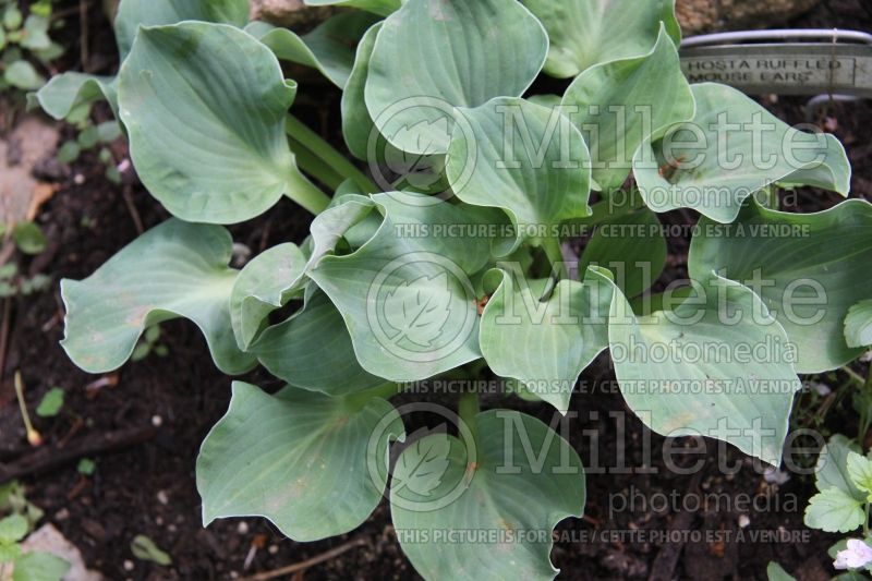 Hosta Ruffled Mouse Ears (Hosta funkia august lily) 2