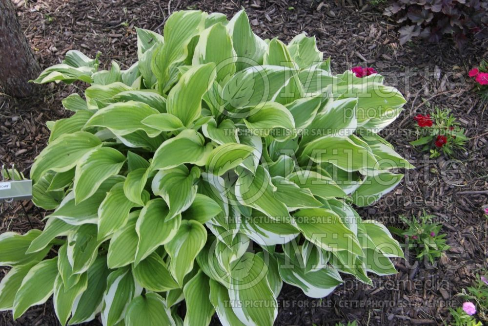Hosta Silver Crown (Hosta funkia august lily) 1