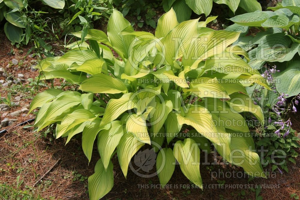 Hosta Smooth Sailing (Hosta funkia august lily) 2