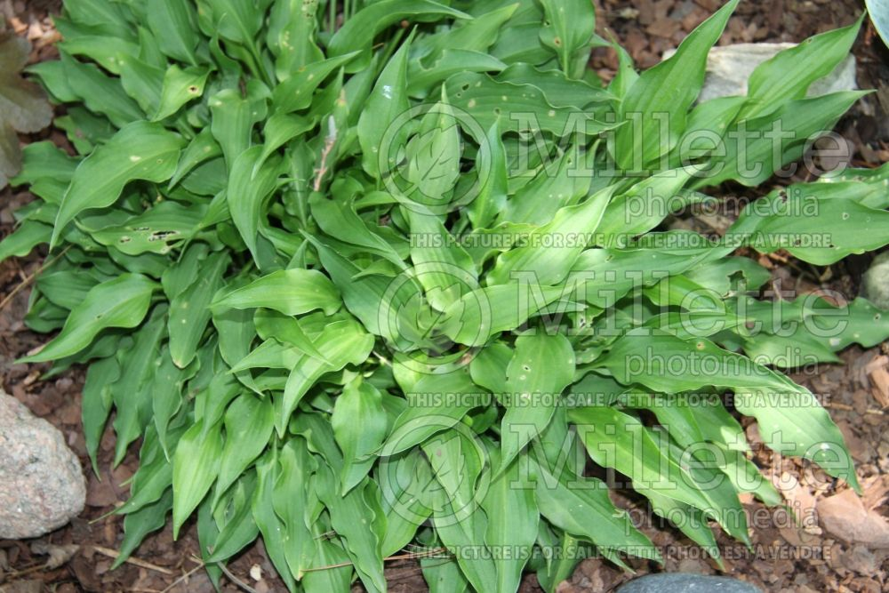 Hosta Spartan Arrow  (Hosta funkia august lily) 2