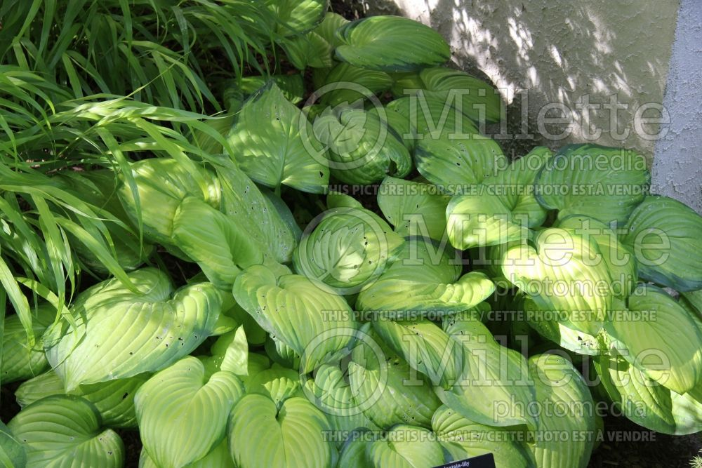 Hosta Stained Glass (Hosta funkia august lily) 5