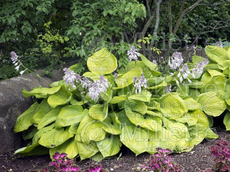 Hosta Sum and Substance (Hosta funkia august lily) 8