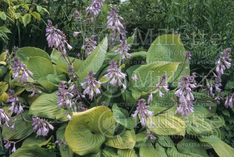 Hosta Sum and Substance (Hosta funkia august lily) 9