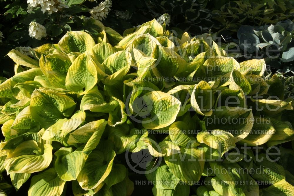 Hosta Summer Breeze (Hosta funkia august lily) 3