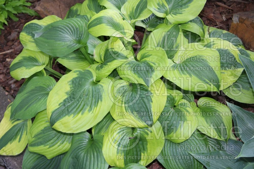 Hosta Summer Lovin (Hosta funkia august lily) 1