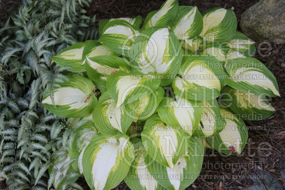 Hosta Summer Music (Hosta funkia august lily) 2