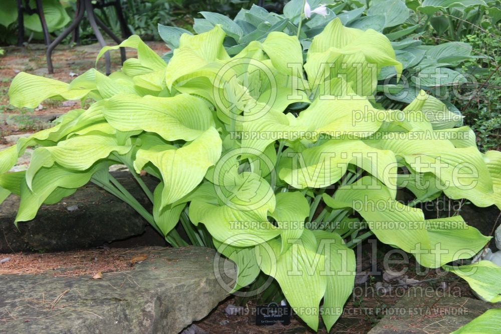 Hosta Sun Power (Hosta funkia august lily) 3