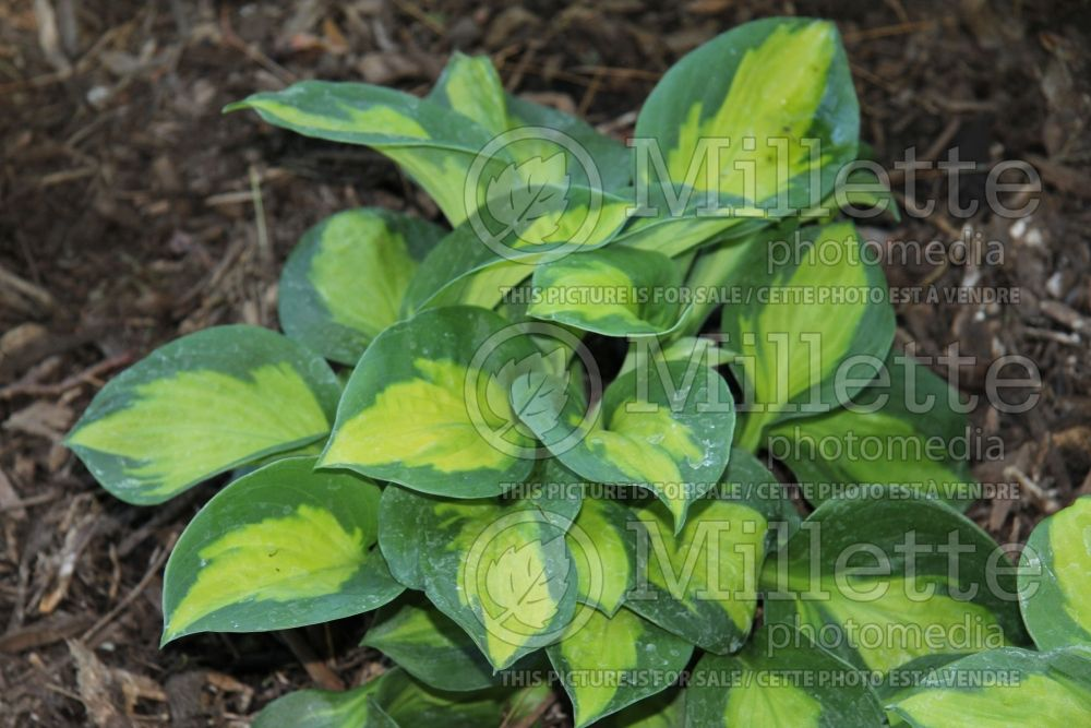Hosta Sunset Grooves (Hosta funkia august lily) 1