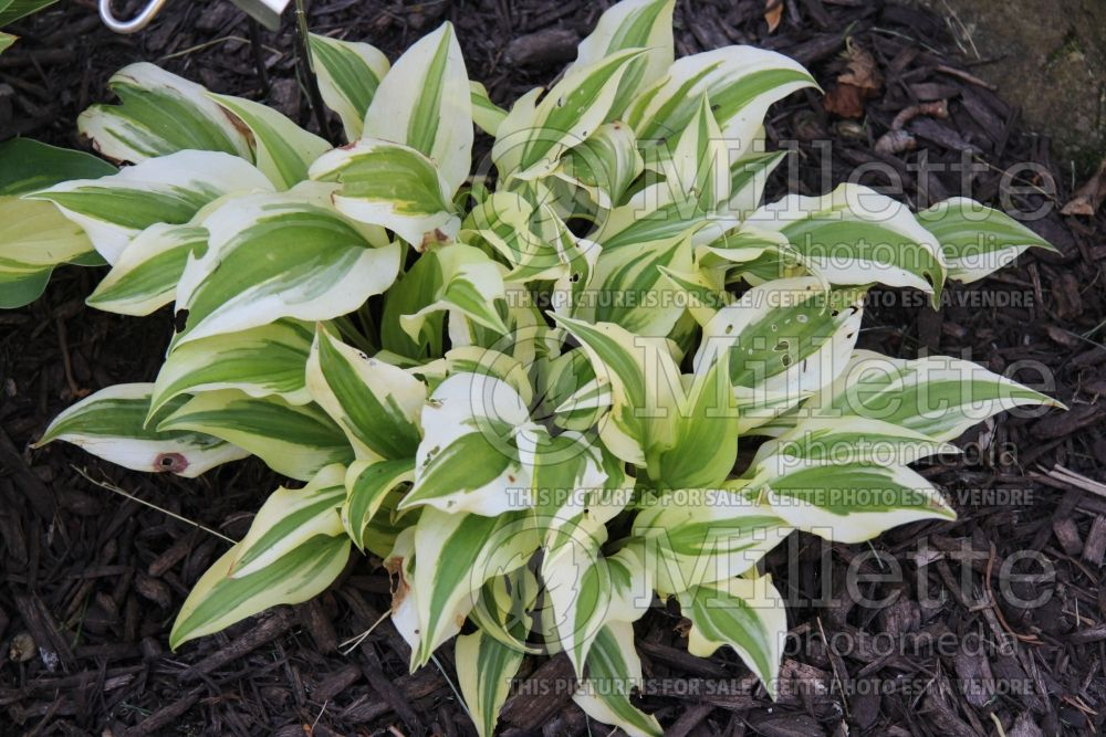 Hosta The Diplomat (Hosta funkia august lily) 1
