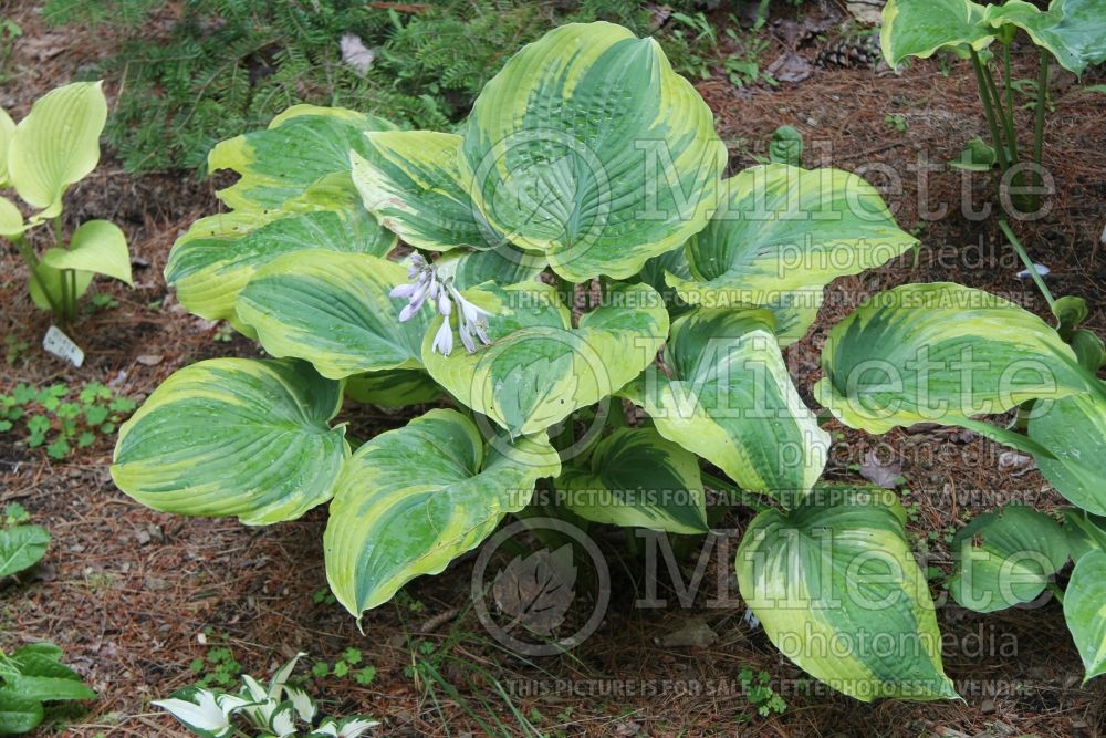 Hosta The King (Hosta funkia august lily) 1