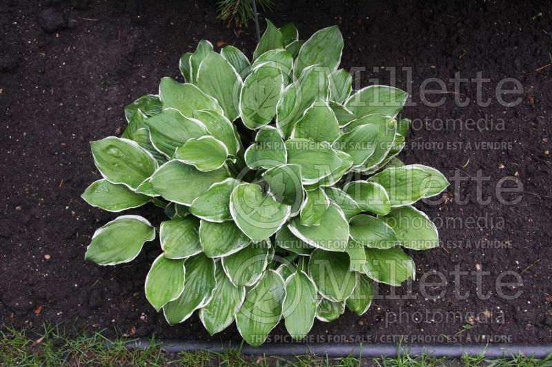 Hosta Thomas Hogg (Hosta funkia august lily) 1