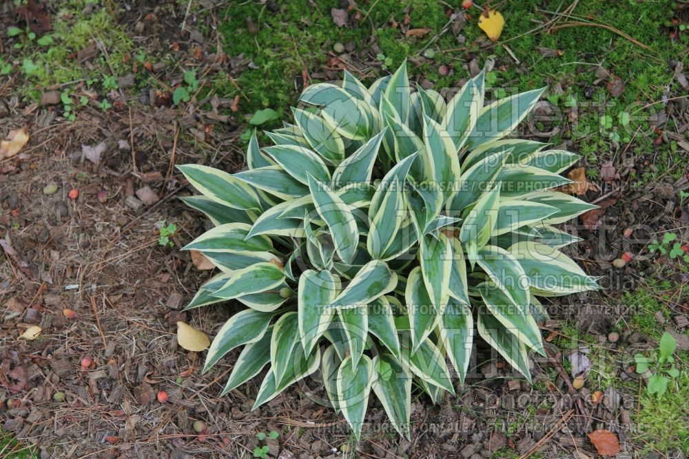Hosta Virginia Reel (Hosta funkia august lily) 2