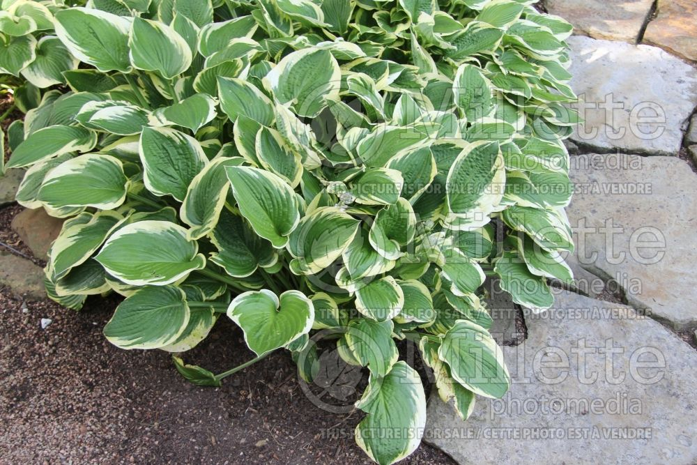 Hosta Wide Brim (Hosta funkia august lily) 5