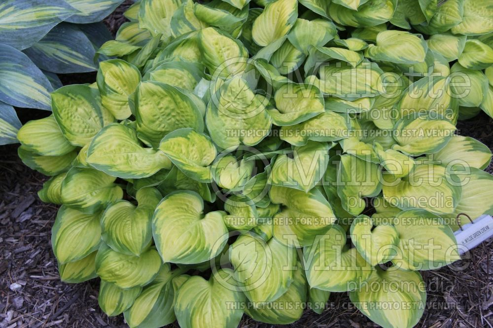 Hosta Wylde Green Cream (Hosta funkia august lily) 2
