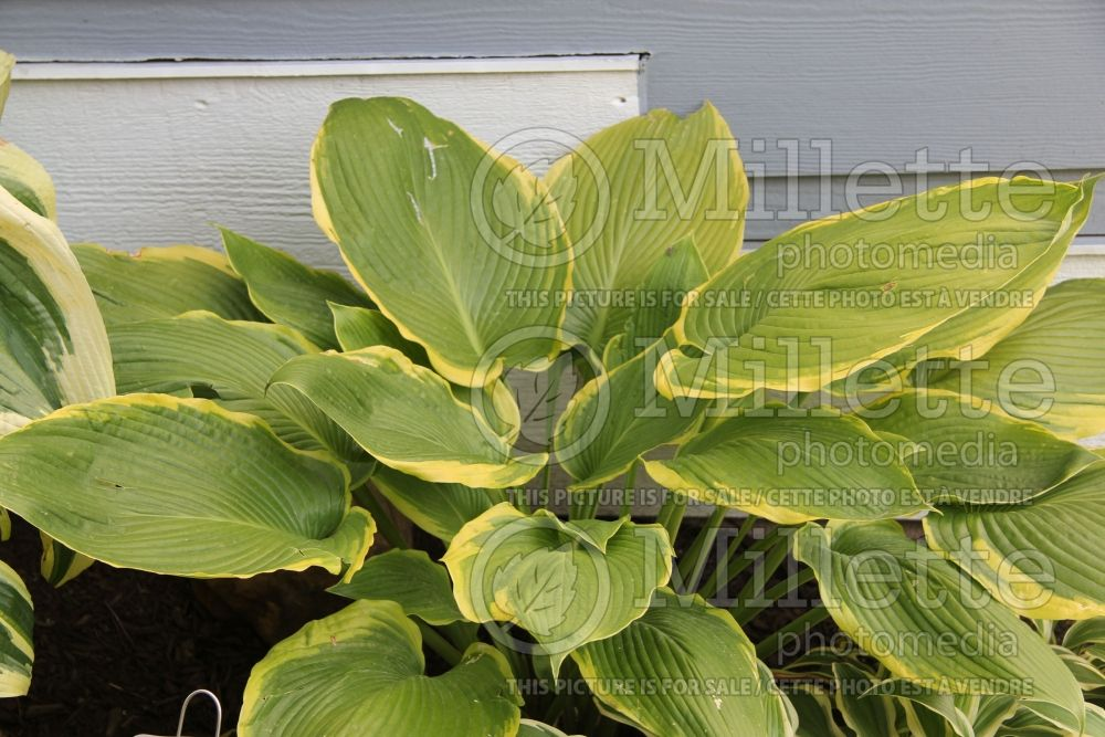 Hosta Yankee Doodle Dandy (Hosta funkia august lily) 1