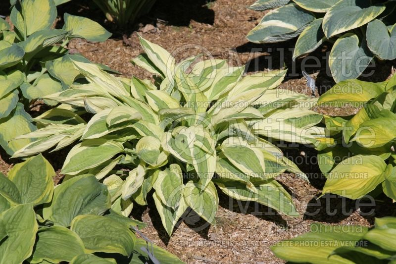 Hosta Yellow Polka Dot Bikini (Hosta funkia august lily)  2