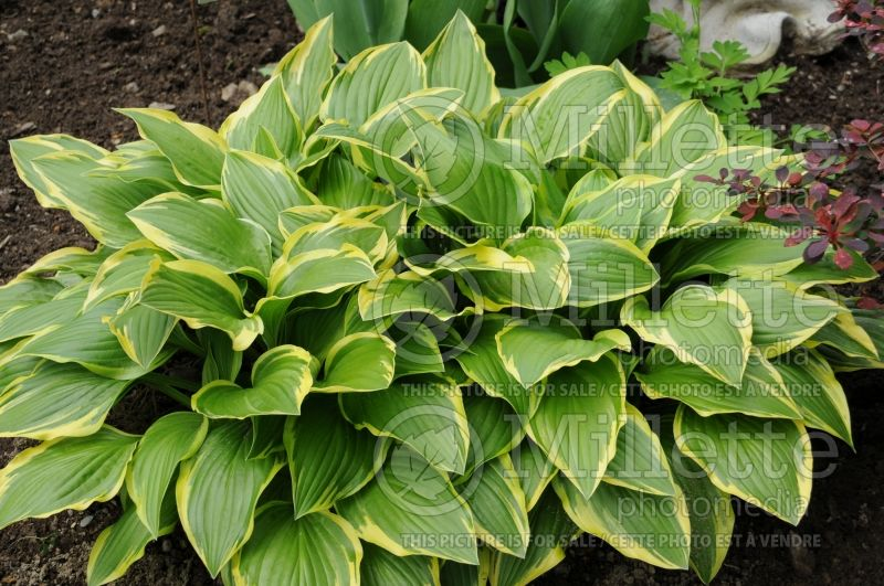 Hosta Yellow Splash Rim (Hosta funkia august lily) 2