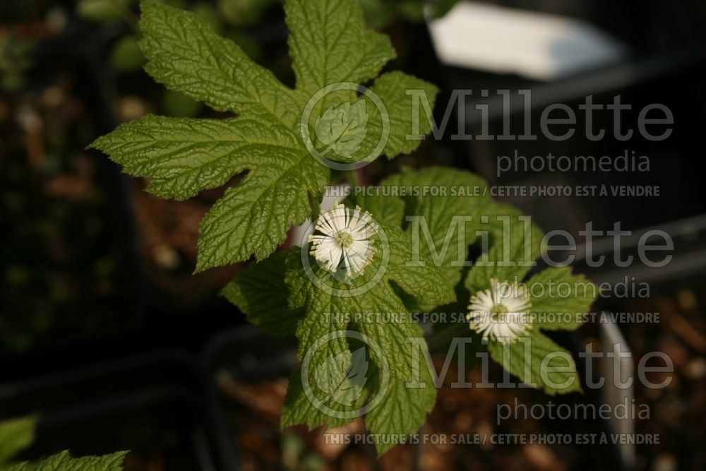 Hydrastis canadensis (Goldenseal, orangeroot or yellow puccoon) 1