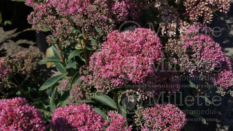 Hylotelephium or Sedum Munstead Dark Red (Stonecrop) 3