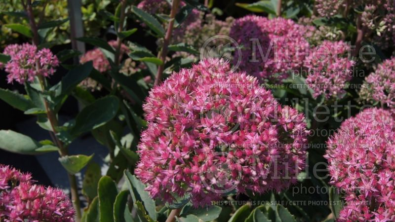 Hylotelephium or Sedum Munstead Dark Red (Stonecrop) 5
