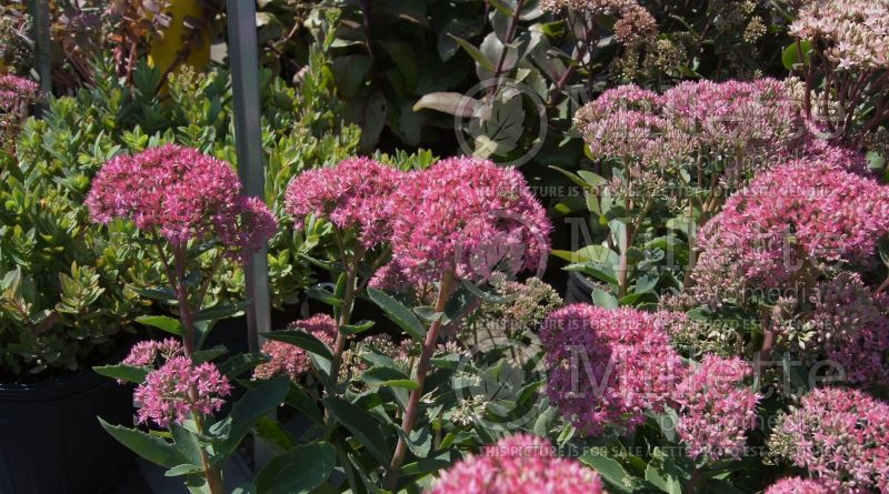 Hylotelephium or Sedum Munstead Dark Red (Stonecrop) 1
