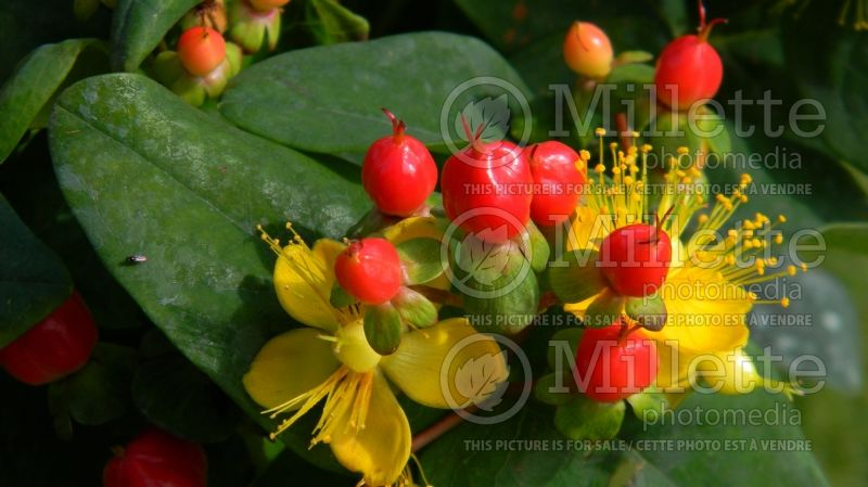 Hypericum Miracle Attraction (St. Johnswort) 1