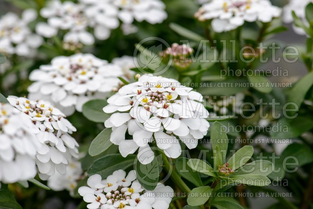 Iberis Masterpiece (Candytuft) 1