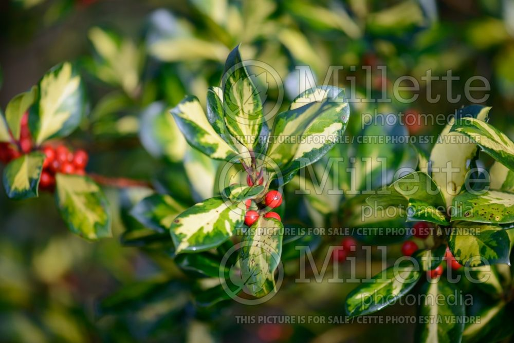 Ilex Lawsoniana (Holly) 2
