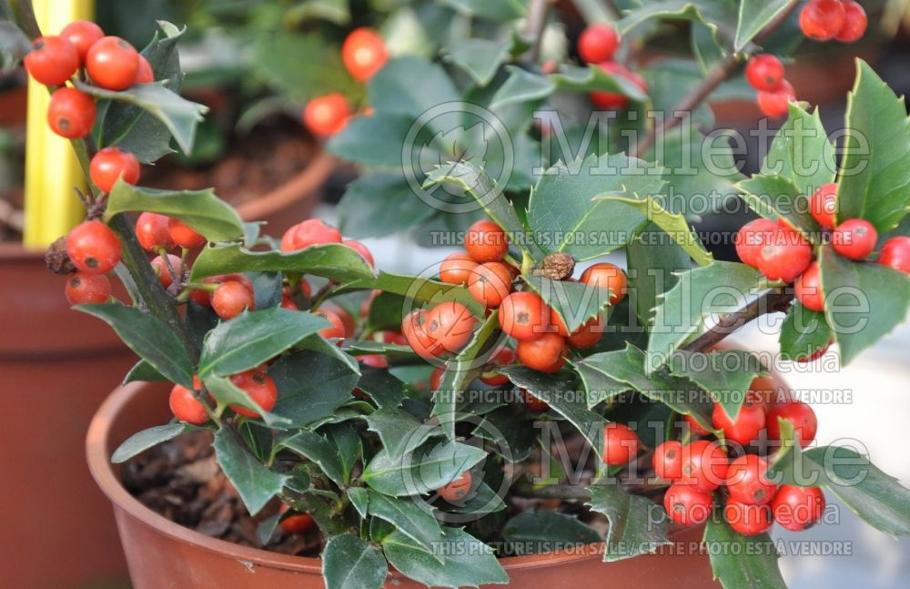 Ilex Blue Maid or Mesid (Winterberry) 2