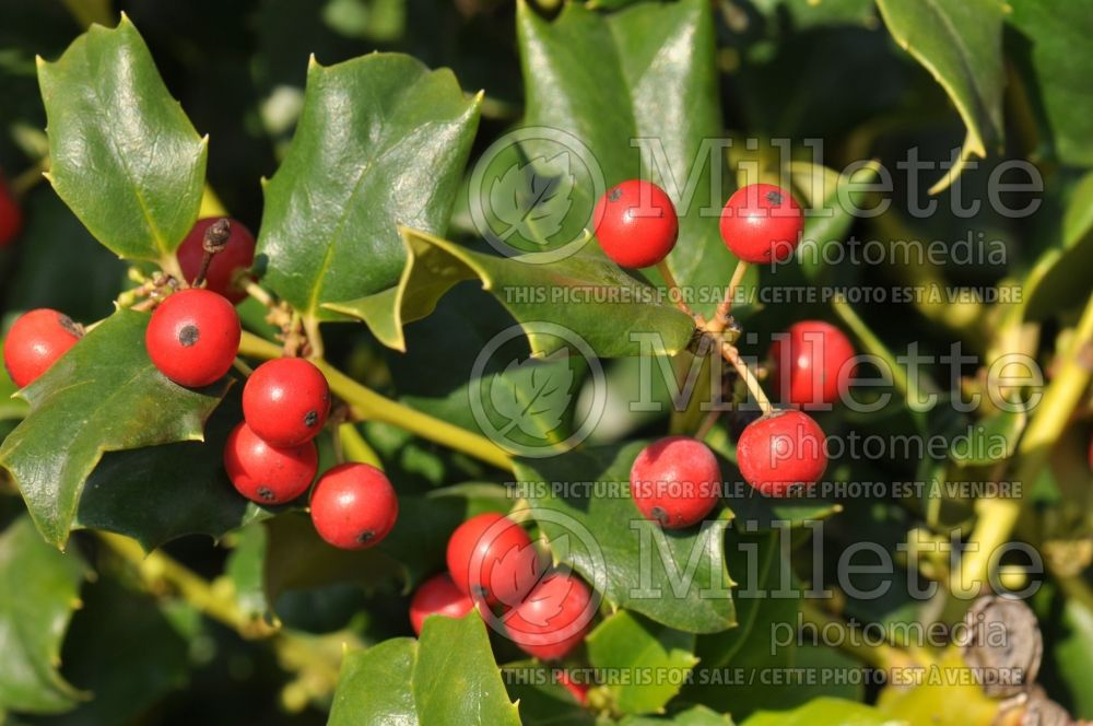 Ilex Blue Princess (Holly) 6