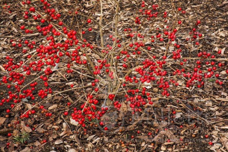 Ilex Red Sprite or Nana (Holly) 15