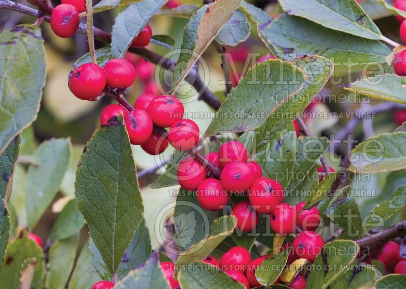 Ilex Red Sprite or Nana (Holly) 13