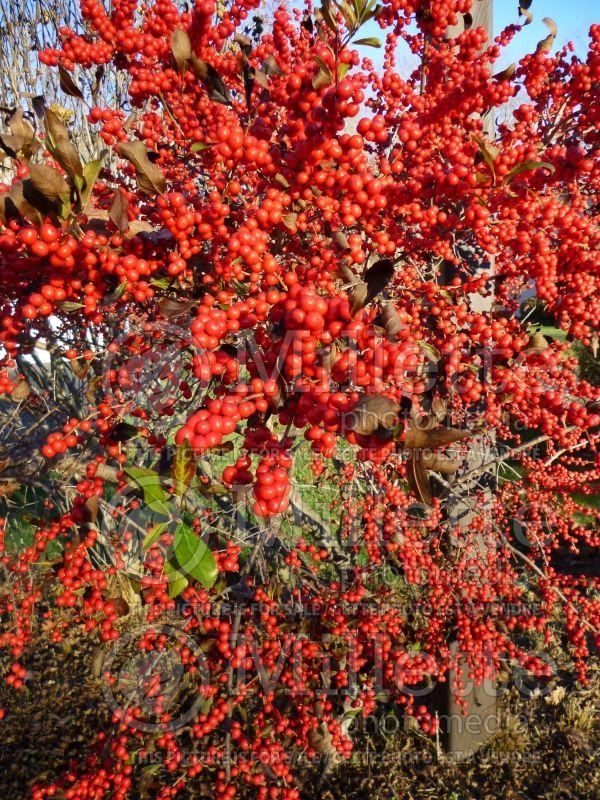 Ilex Red Sprite or Nana (Holly) 12