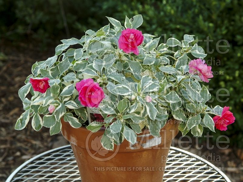 Impatiens Fiesta Ole Peppermint (New Guinea Impatiens) 1