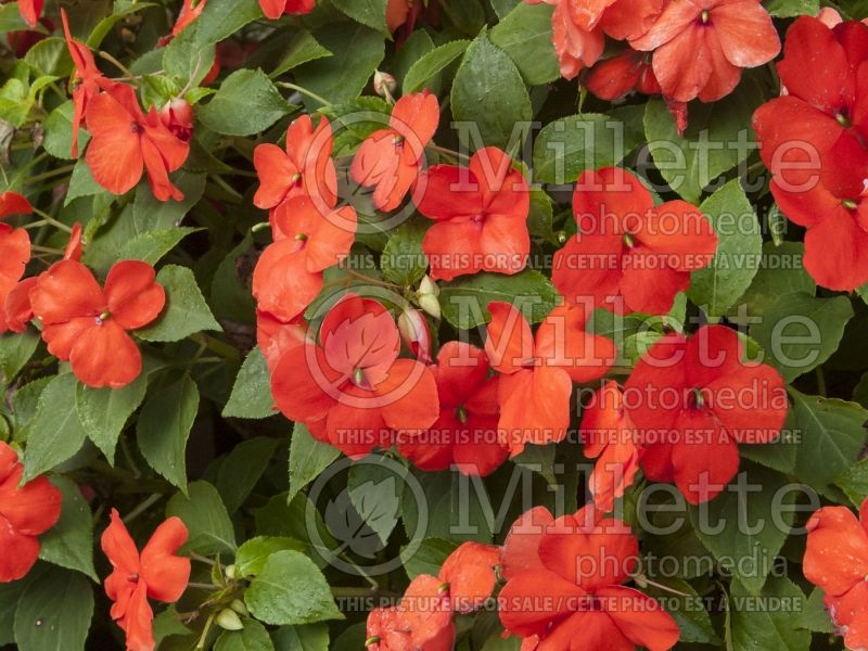Impatiens Super Elfin Bright Orange (Impatiens) 1