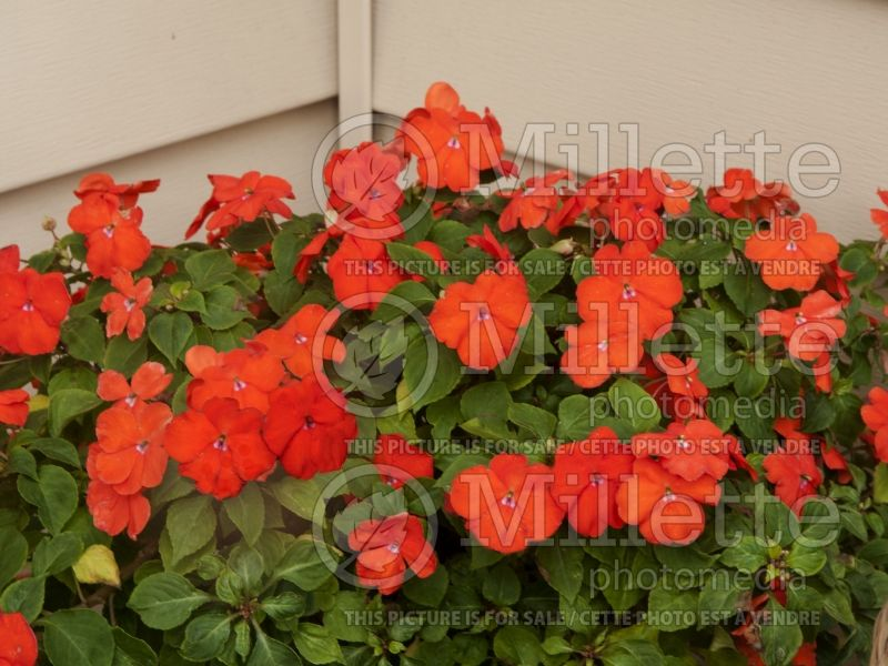 Impatiens Super Elfin Bright Orange (Impatiens) 2