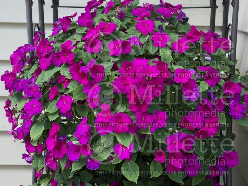 Impatiens Super Elfin XP Violet (New Guinea Impatiens) 1