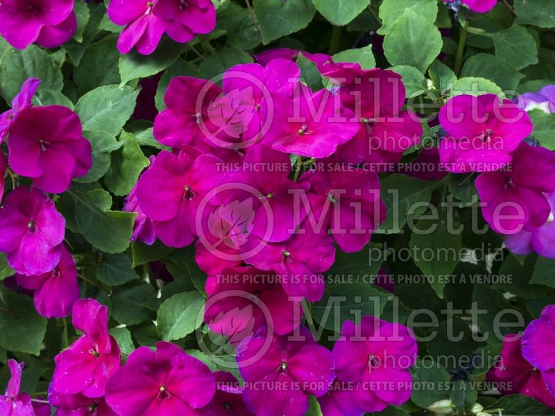 Impatiens Super Elfin XP Violet (New Guinea Impatiens) 2