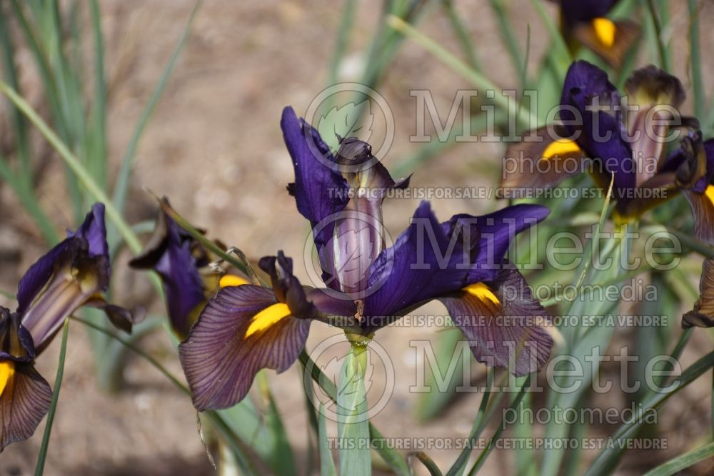 Iris Eye of the Tiger (Iris germanica bearded) 1