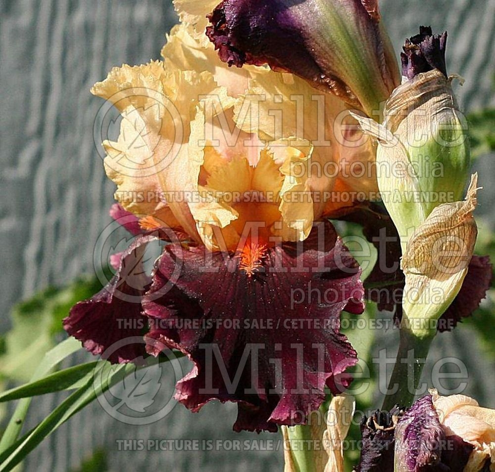 Iris Ocelot (Iris germanica, Tall Bearded Iris) 1