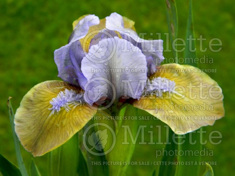 Iris Hocus Pocus (Iris germanica, Bearded) 1