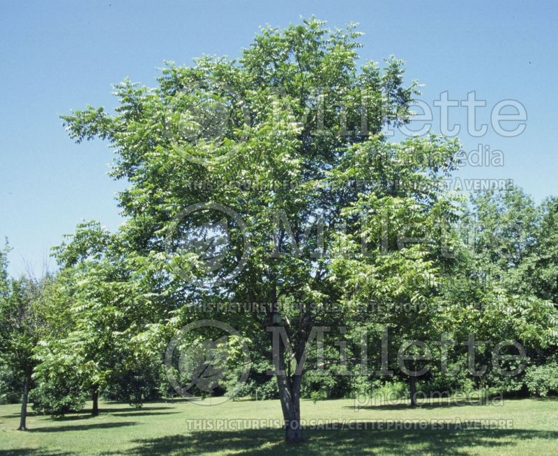 Juglans cinerea (butter nut) 2